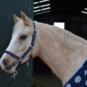 Headcollar, blue spots, blue spotty headcollar, web headcollar, pony headcollar, cob headcollar