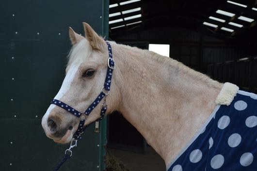 Headcollar, blue spots,